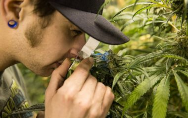 A cannabis grower checking the health of a growing cannabis plant