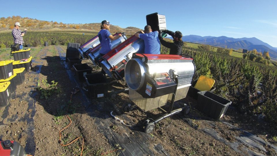 farmers trimming marijuana plants in the crop with the Dry XL machine XL