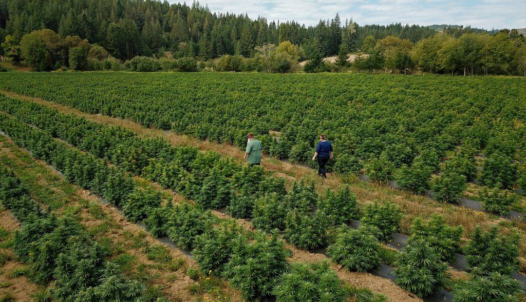 50 acres of cbg hemp