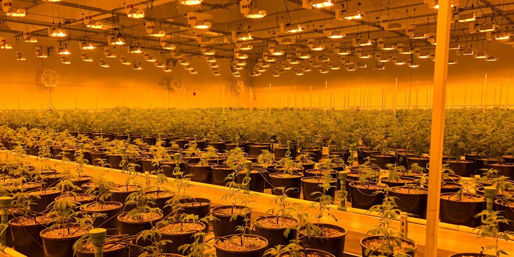 large indoor cannabis grow